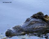 5F1A2826 American Alligator.jpg