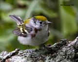 _MG_2473 Chestnut-sided Warbler.jpg