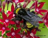 5F1A3793 American Bumblebee.jpg