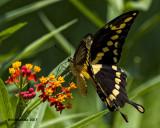 5F1A4209 Giant Swallowtail.jpg