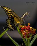 5F1A4220 Giant Swallowtail.jpg