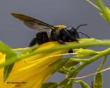 5F1A4232 Eastern Carpenter Bee.jpg