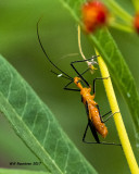 5F1A4308 Milkweed Assassin Bug.jpg