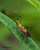 5F1A4310 Milkweed Assassin Bug.jpg