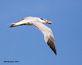 5F1A4604 Royal Tern.jpg