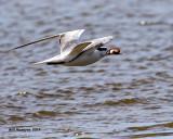 5F1A4617 Royal Tern.jpg