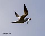 5F1A4710 Royal Tern.jpg