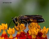 5F1A4753 wasp.jpg