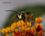 5F1A4763 wasp.jpg