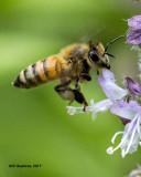 5F1A4812 Honey bee.jpg