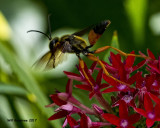 5F1A4843 Giant Golden Digger Wasp.jpg