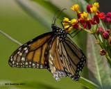 5F1A4924 Monarch.jpg