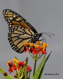 5F1A4973 Monarch.jpg