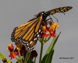 5F1A4977 Monarch.jpg