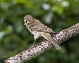 5F1A4998 young House Finch.jpg
