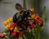 5F1A5047 Eastern Carpenter Bee.jpg