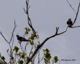 5F1A5054 Mississippi Kites.jpg