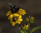 5F1A5092 Carpenter Bee Mimic.jpg