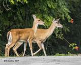 5F1A5142 White-tail Deer.jpg