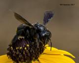 5F1A5091 Carpenter bee mimic.jpg