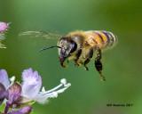 5F1A5180 Honey Bee.jpg