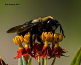 5F1A5218 Eastern Carpenter Bee.jpg