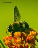 5F1A5226 Eastern Carpenter Bee.jpg