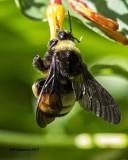 5F1A5446 American Bumblebee.jpg
