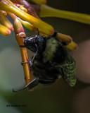 5F1A5511 American Bumblebee.jpg