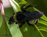 5F1A5516 American Bumblebee.jpg