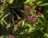 5F1A5527 Giant Swallowtail.jpg