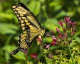 5F1A5536 Giant Swallowtail.jpg