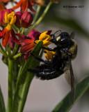 5F1A5582 Eastern Carpenter Bee.jpg