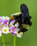 5F1A5639 American Bumblebee.jpg