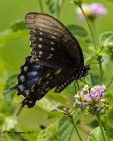 5F1A5769 Spicebush Swallowtail.jpg