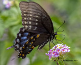 5F1A5775 Spicebush Swallowtail.jpg