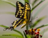 5F1A5881 Giant Swallowtail.jpg