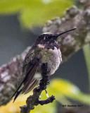 5F1A6139 RT Hummingbird.jpg
