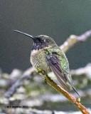 5F1A6146 RT Hummingbird.jpg