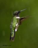5F1A6249 Wet Hummingbird.jpg