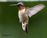 5F1A6270 RT Hummingbird.jpg