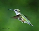 5F1A6330 juv male Ruby-throated Hummingbird.jpg