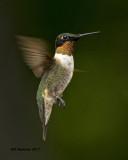 5F1A6409 Ruby-throated Hummingbird.jpg
