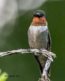 5F1A6470 Ruby-throated Hummingbird.jpg