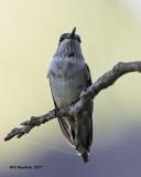 5F1A6479 Ruby-throated Hummingbird.jpg