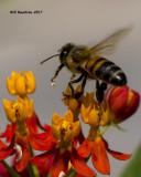 5F1A6617 Honey Bee.jpg