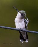 5F1A6688 Ruby-throated Hummingbird.jpg