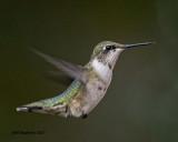 5F1A6711 Ruby-throated Hummingbird.jpg