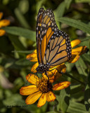 5F1A6728 Monarch.jpg