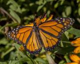 5F1A6732 Monarch.jpg
